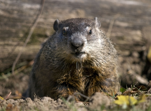 Punxsutawney Phil saw his shadow on Feb. 2, so six more weeks of winter is what's in store before spring's arrival.