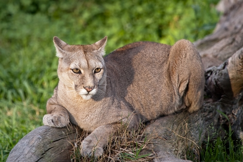 New research suggests that an increase in the cougar population can help lower car accidents where deer are involved.